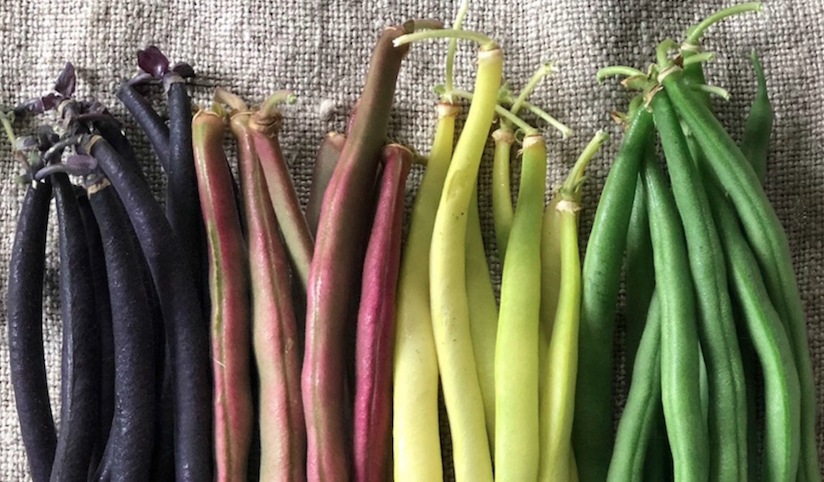 A photo of four different coloured beans for saving seeds.