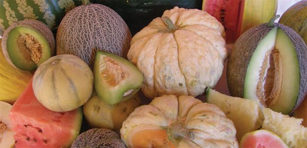 A photo of a variety of melons for seed saving.
