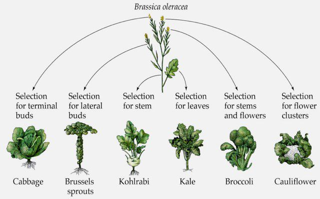 The brassica family tree